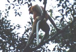 Borneo012.jpg